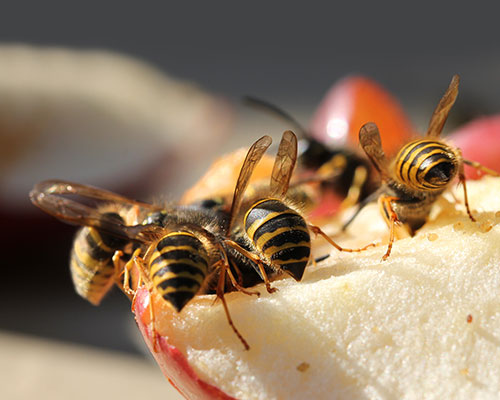Wasps Eating Sweet Fruit
